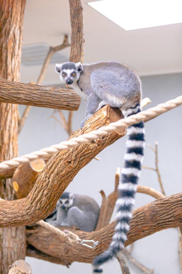 Lemurs at the Ararat Ridge Zoo