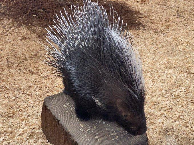 Ararat Ridge Zoo Porcupine