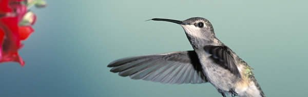 The Hummingbird: God's Tiny Miracle | Answers in Genesis