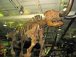 Cast of mastodon bones