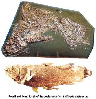 Fossil vs living fossil of the coelacanth