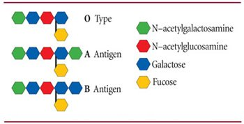 ABO antigen specificity