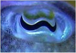 cuttlefish eye