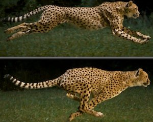Can the Cheetah Out-Run Extinction? | Answers in Genesis