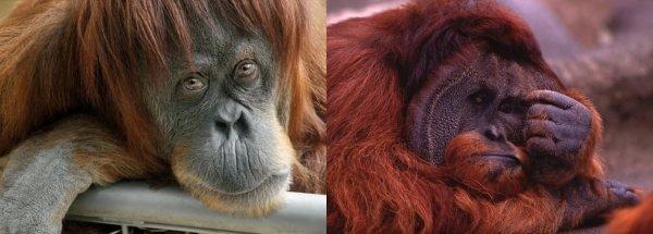 Sad orangutans