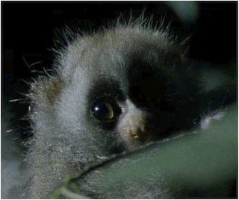 baby loris