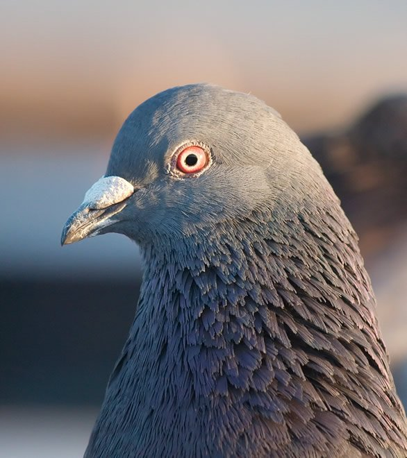 Uncrested Rock Dove