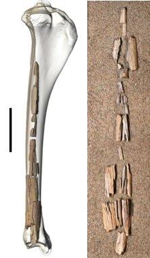 camel-bones