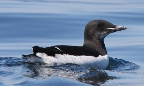 Thick-Billed Murre Swimming