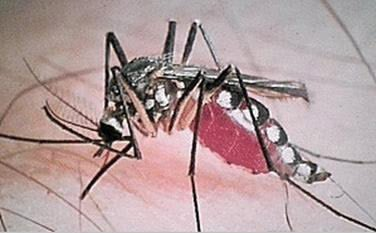 Tree Hole Mosquito