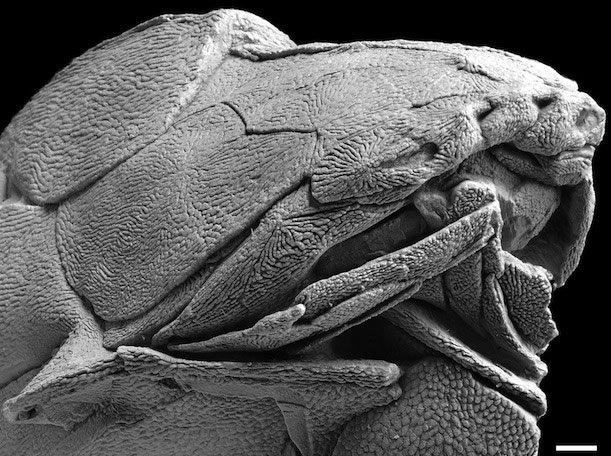 Entelognathus fossil