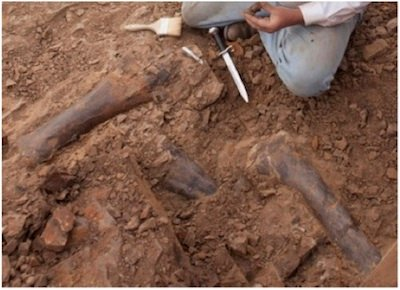 Triceratops leg bones