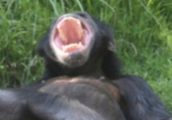 chimp-yawning