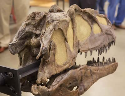Fossilized Allosaur skull