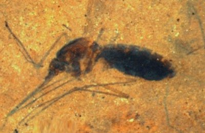 mosquito fossil