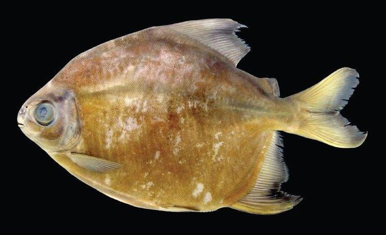 piranha-vegetarian