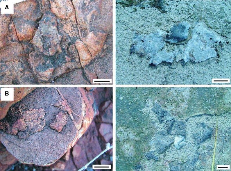 Dresser Formation Fossils