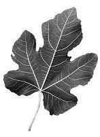 Fig leaf.