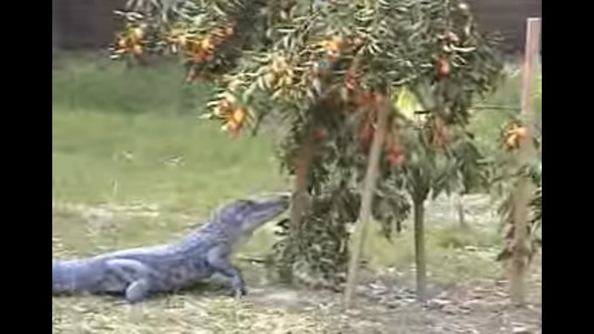Gator Eating Kumquats