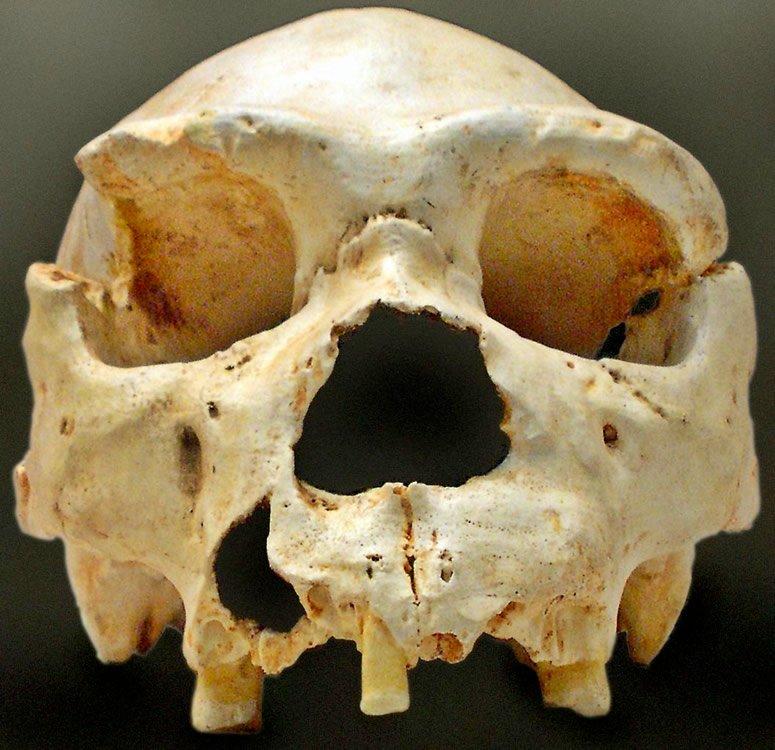 Homo heidelbergensis Cranium