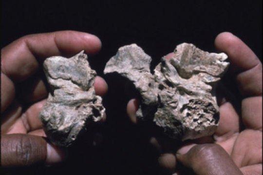 Cranial Base of <i>Ardipithecus ramidus</i>