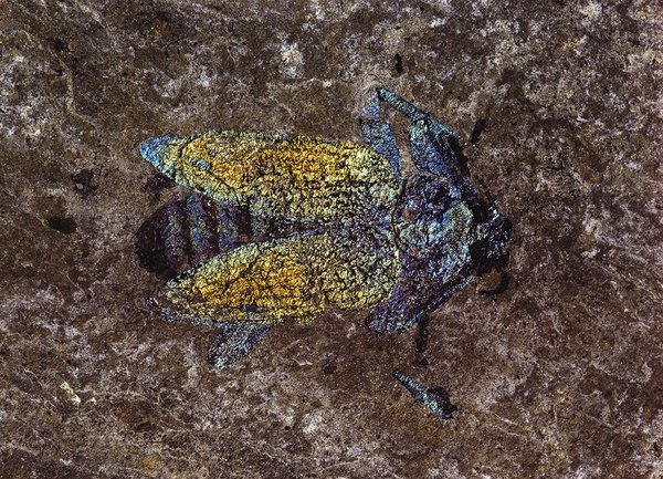 Beetle from Messel Pit