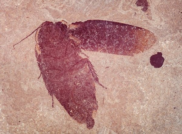 Cockroach from Messel Pit