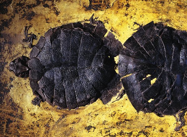 Turtles from Messel Pit