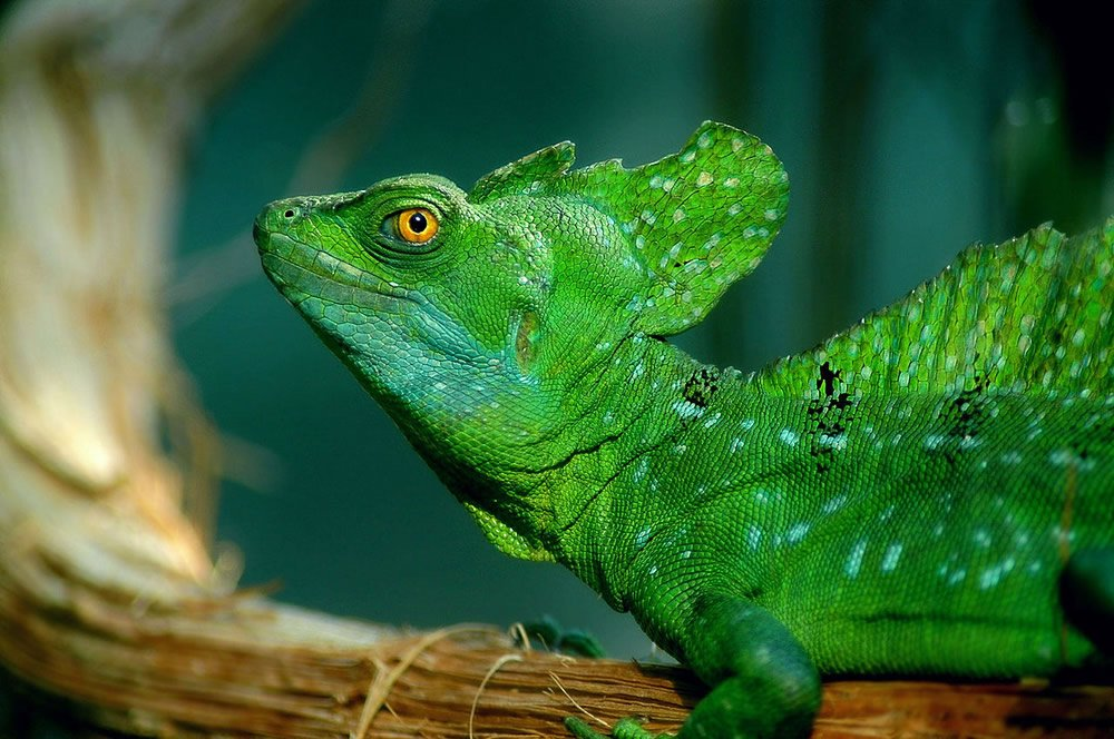 Plumed Basilisk Lizard