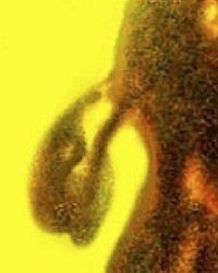 pollen-tube