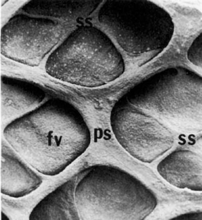 faveoli