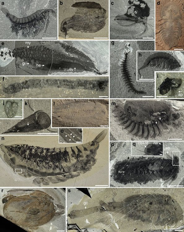 Cambrian fossils