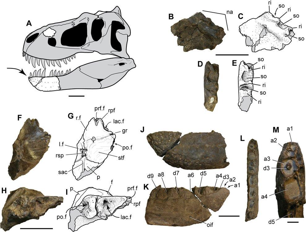 Reconstructed Dino Skull