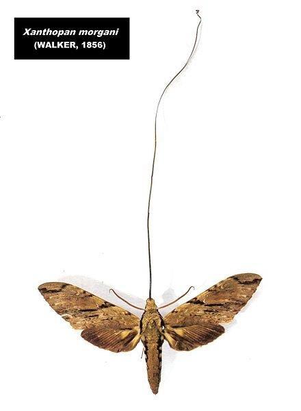 African Moth
