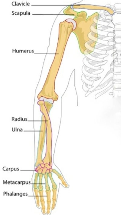 Human skeleton upper arm for Your inner fish summary