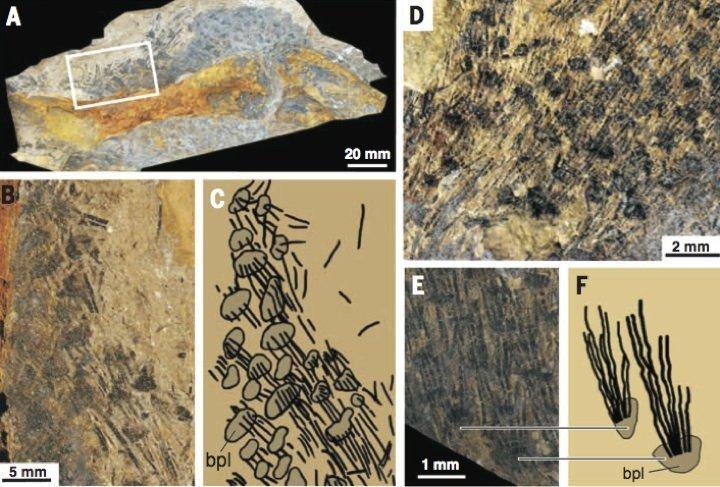 fossil-fibers
