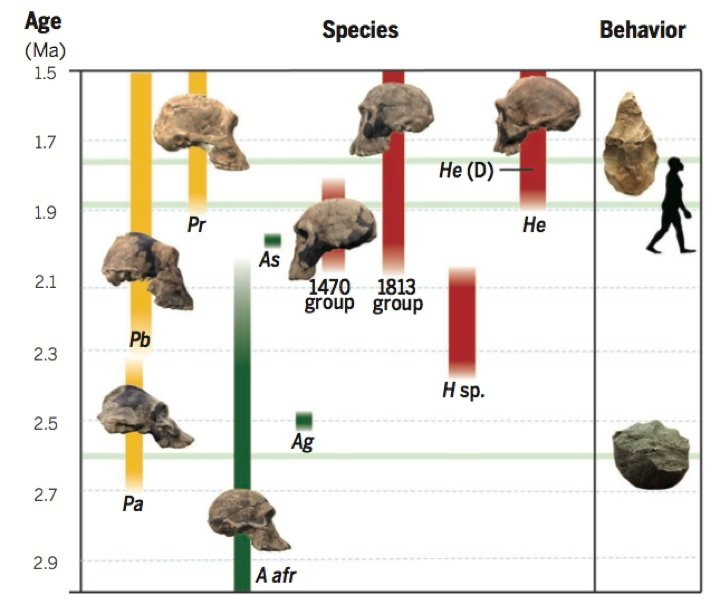 hominid-chart