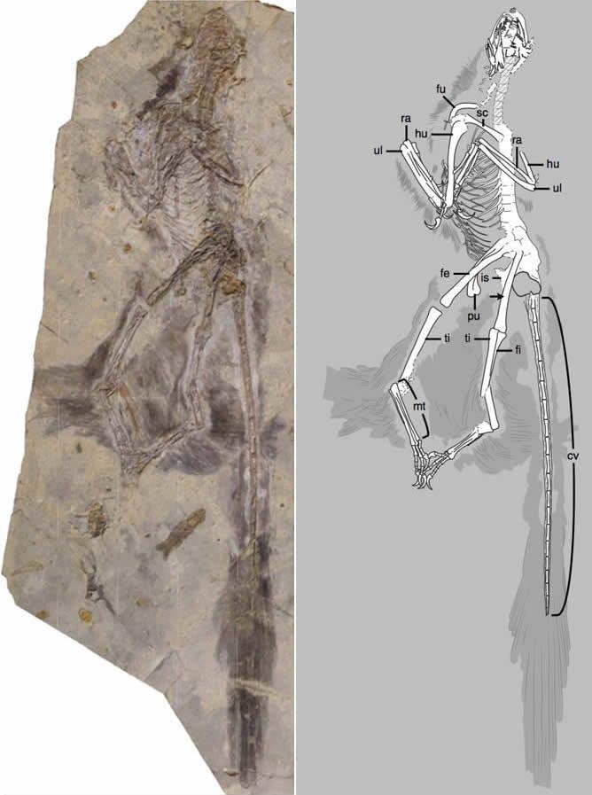Microraptor fossil slab