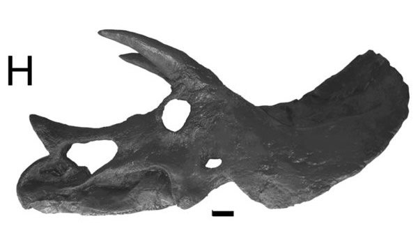Triceratops H