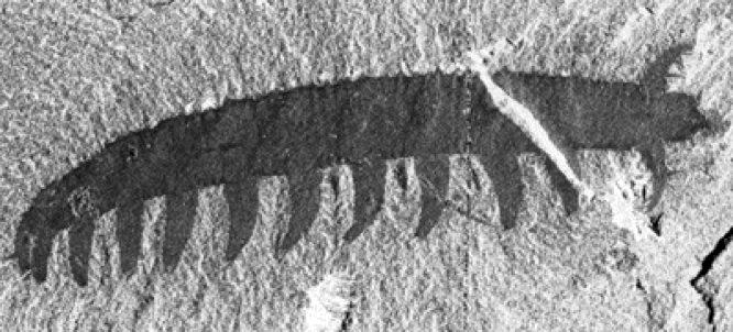 velvetworm-fossil