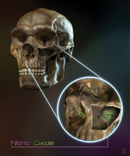 Nitric Oxide in Neanderthal Nose
