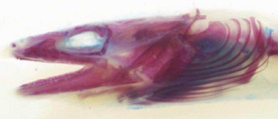 sucker eel