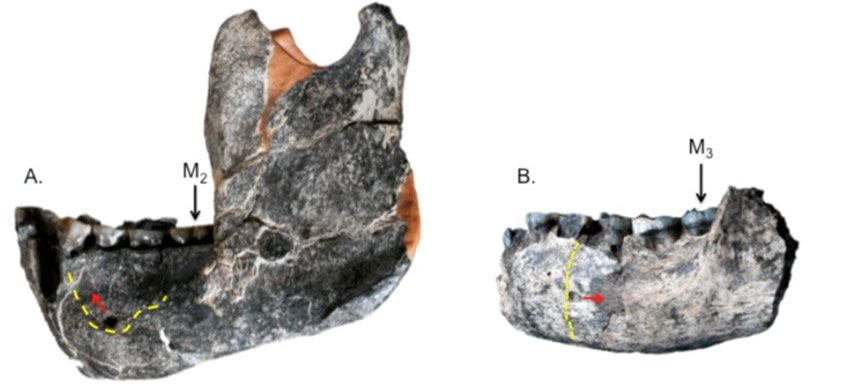 Afarensis mandible