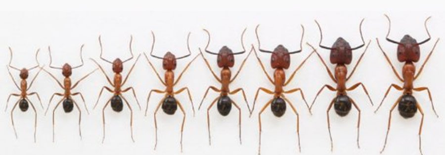 Carpenter Ants in Various Sizes
