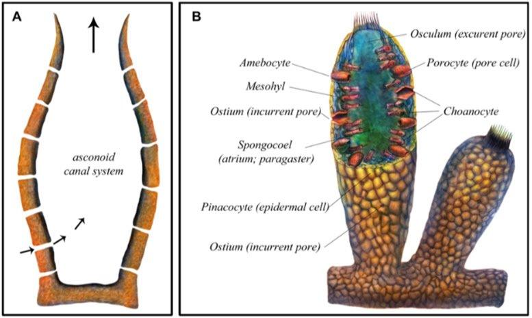 Eocyathispongia qiania