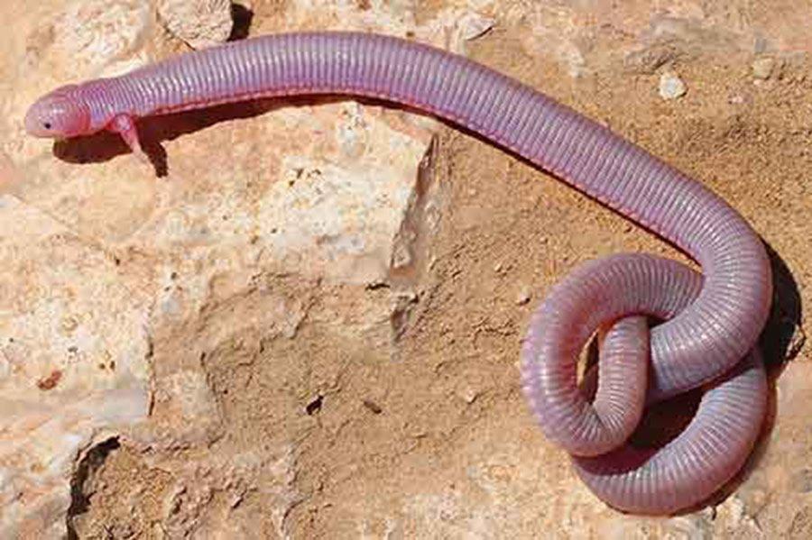 Worm Lizard