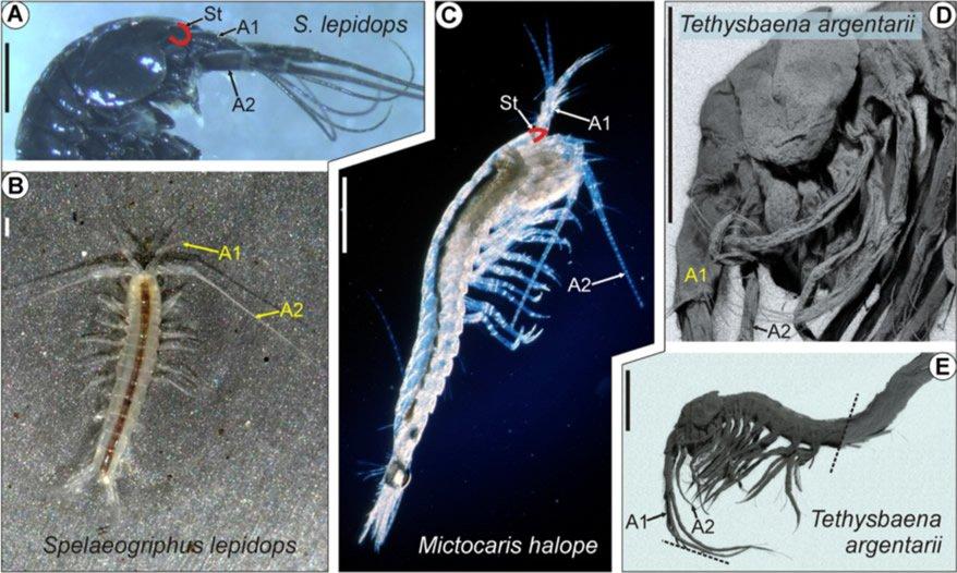 Eyeless Crustaceans