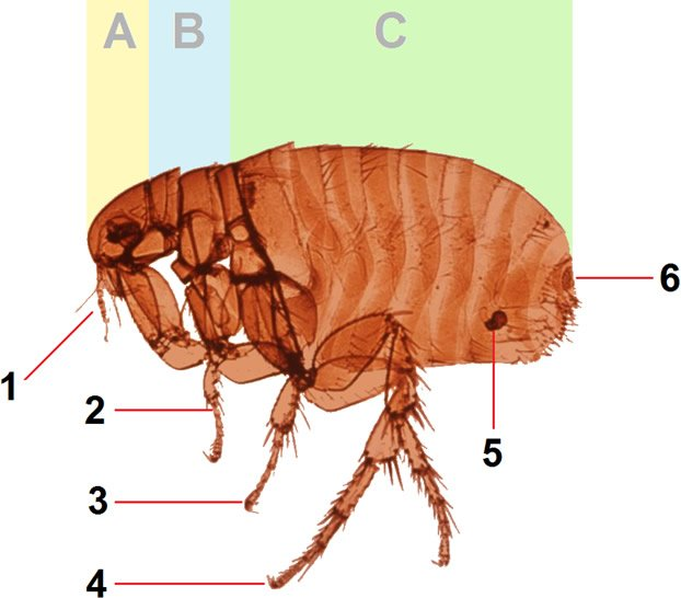 Advanced Flea Anatomy