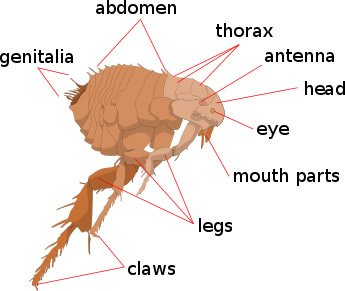 Basic Flea Anatomy
