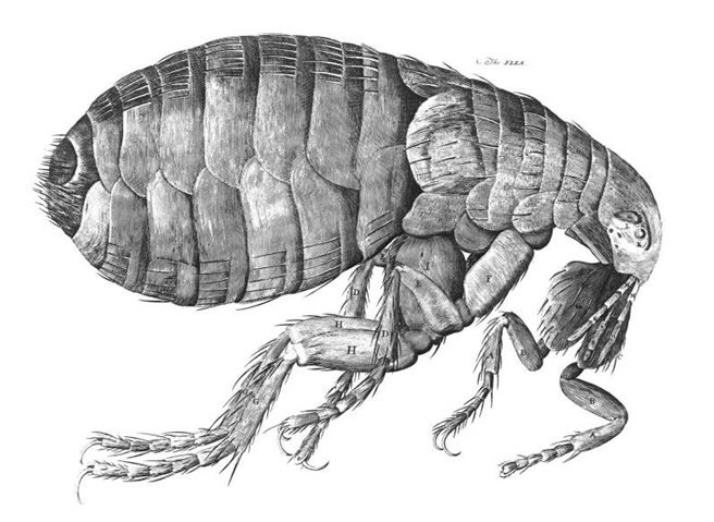 The Flea by Robert Hooke